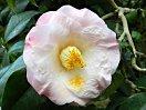 淡桃色 底白 八重咲き 中輪