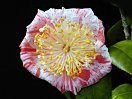 白地紅小絞・大小の点斑入り 一重 平開咲き 梅芯 大輪