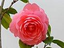 桃紅色 千重咲き 小輪