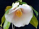 明桃色 底白 一重 筒咲き 筒しべ 小・中輪