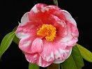 桃紅色 八重 抱え咲き 筒しべ 大輪