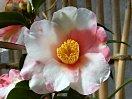桃色 ときに白斑入り 一重 盃状咲き 筒しべ 中輪
