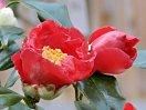 濃紅色 宝珠咲き 丸弁 中輪