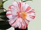 白色地 濃紅色縦絞り 八重 抱え咲き 筒しべ 中輪