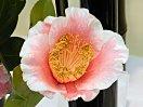 淡紅色地 白覆輪 弁脈鮮明 一重 ラッパ〜平開咲き 筒しべ 中輪