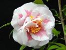 濃いローズピンク 幅広い白覆輪 牡丹咲き 中〜大輪