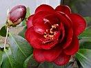 暗紅色 松笠形の抱え咲き 重ねの薄い八重 光沢弁 小〜中輪