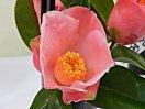 藤色をおびた濃桃色地 やや底白 一重 中折れ弁 長筒〜ラッパ咲き 筒しべ 中輪