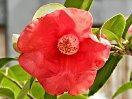 濃紅色 一重 盃状〜椀咲き しわや縮れが少し入る 筒しべ 大輪