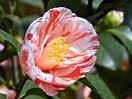 淡桃色地 濃紅色縦小絞り ときに紅花も 八重 蓮華咲き 筒しべ 大輪