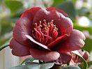 黒紅色 八重咲き 小輪 花糸は赤い