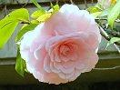 明桃色 千重咲き 大輪