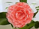 淡桃色地 桃色縦絞り 千重咲き 中輪