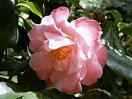 淡桃色地 弁端濃桃色 バラ咲き 中輪