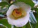 白色 八重〜牡丹咲き 中輪