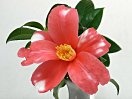 紅色地 白斑入り 一重 ラッパ咲き 小輪