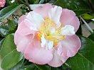 桃色 弁央薄くぼかし 牡丹咲き 中〜大輪