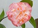 桃色 牡丹咲き 大輪