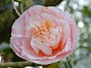 白〜淡桃色地 桃紅色の小〜吹掛け絞り 牡丹咲き 散性 中輪