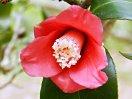 濃紅色 一重 猪口咲き 筒しべ 侘芯 極小輪