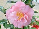 極淡桃色〜桃色 花弁やや細く 散り性 八重 筒しべ 大輪