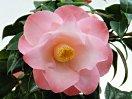 桃色 底白 八重咲き 中輪