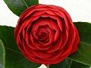 暗紅色 千重咲き 中輪