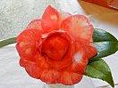 白色地 紅色の覆輪 八重〜牡丹咲き 大輪