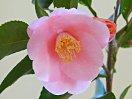 濃桃色 6〜9弁 花径3.5〜4cmの小輪 ラッパ咲き