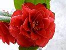 紅色 八重 松笠状の花 小輪
