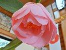 明桃色 八重咲き 極大輪
