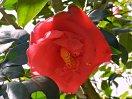 紅桃色 八重 平開咲き 筒しべ 極大輪