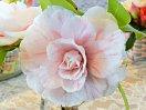 淡桃色地 紫紅色縦〜小絞り 千重咲き 芯に小宝珠 中輪