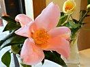 淡桃色 一重 桔梗咲き 小輪