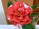 紅色地 白斑入り 八重咲き 松笠形 割リしべ 小〜中輪