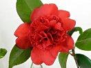 朱紅色 獅子咲き 丸く上に盛り上がる 大輪