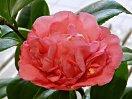 淡桃色地 わずかに紅絞り 牡丹〜獅子咲き しべは弁に混じる 中輪