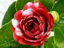 紫紅色地 白斑入り 重ねが少なめの千重咲き 中輪