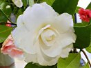 白色 千重〜列弁咲き 中〜大輪