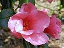 桃紅〜紅色 一重 筒咲き 侘芯 小輪