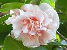 淡桃色 八重 牡丹咲き 大輪