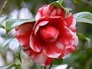 紅色地 白斑入り 千重咲き 中輪