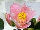 桃色地 白覆輪 紅縦絞り 一重 長いラッパ咲き 中輪