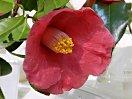 紫を帯びる紅色 一重 ラッパ〜平開咲き 筒しべ 中輪