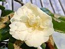 白色 獅子咲き 中輪