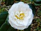 白色 八重 抱え咲き 弁幅広い 割りしべ 小輪