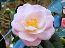 桃色 八重咲き 散りしべ 中輪