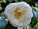 白色 八重 蓮華咲き 筒しべ 時に旗弁が混じる 大輪