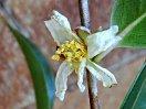 白色 一重 平開咲き 極小輪 微香