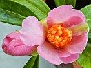 桃色 一重 細長い花弁 葉も細長い 極小輪